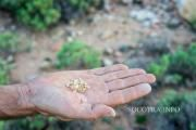 Yemeni Gold - an unusual Frankincense